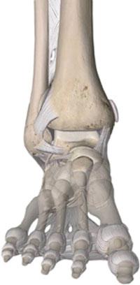 articolazione e legamenti - dolore della caviglia
